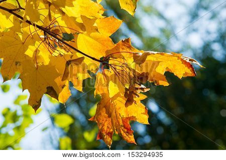 Texture, Pattern, Background. Leaves And Maple Leaf Shoots. A Tree Or Shrub With Lobed Leaves, Winge