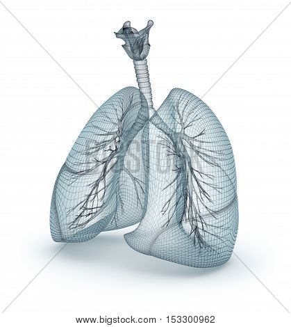 Human lungs and trachea. Wire model 3D illustration