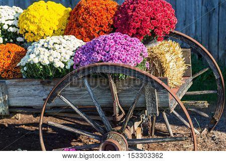 Farm Wagon Mums