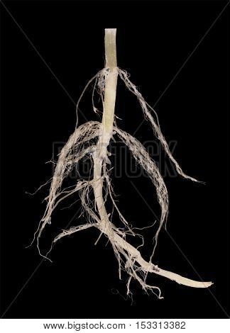 light plant root isolated on black background