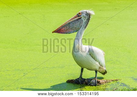 White pelican is standing in green swamp for finding a fish.