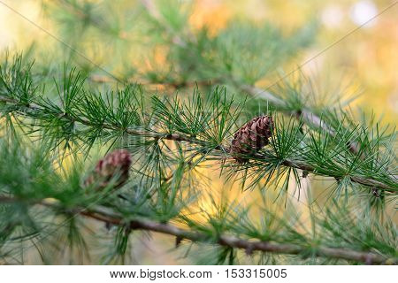 Larch tree branches with cones, green, needles