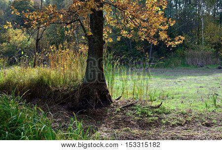 An oak tree near the dry pond
