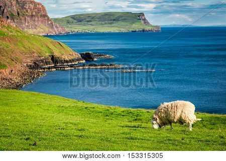 Beautiful View To Sheep On The Edge Of A Cliff, Isle Of Skye, Scotland