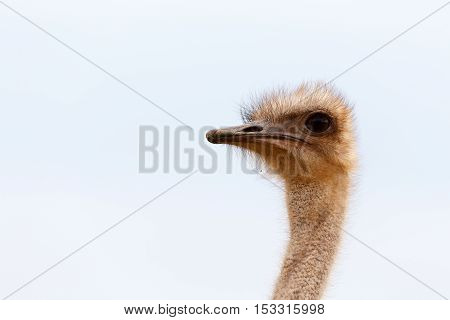 Close Up View Of A Ostrich