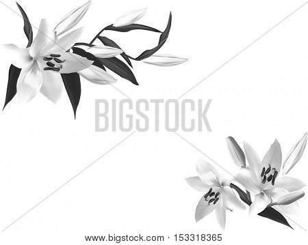 illustration with grey lily flowers isolated on white background