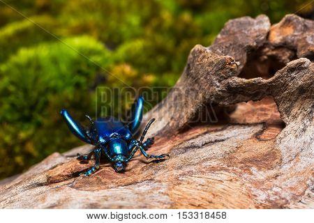 Frog Legged Leaf Beetle
