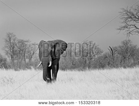 Black & white image of a large elephant with long tusks walking across the dry Plains in Hwange national park