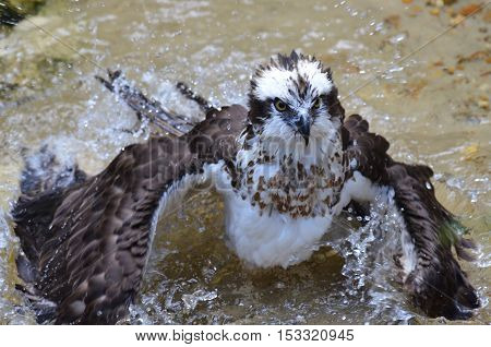 Osprey cleaning himself in the shallow waters