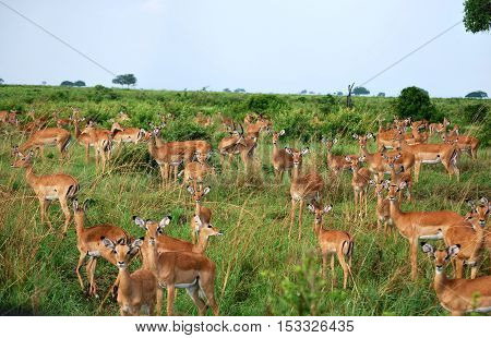 Herd of impalas in the savanna of a park in Tanzania