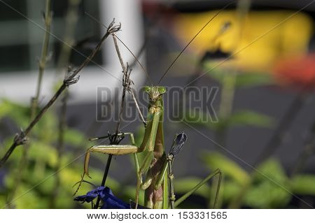 Praying Mantis. Mantises are an order of insects with over 2,400 species and about 430 genera in 15 families. The largest family is the Mantidae. They are distributed worldwide in temperate habitats.