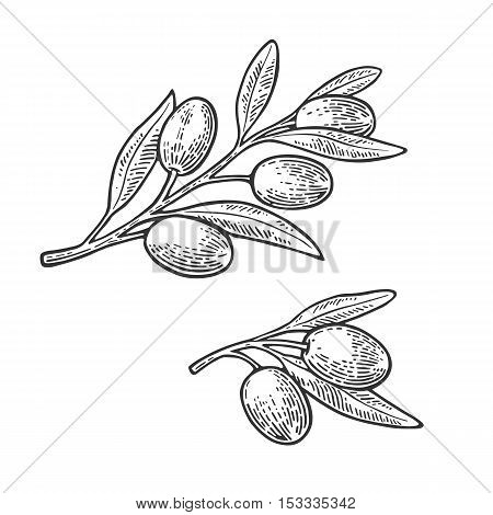 Olives on branch with leaves. Hand drawn design element. Vintage black vector engraving illustration for logotype poster web. Isolated on white background.