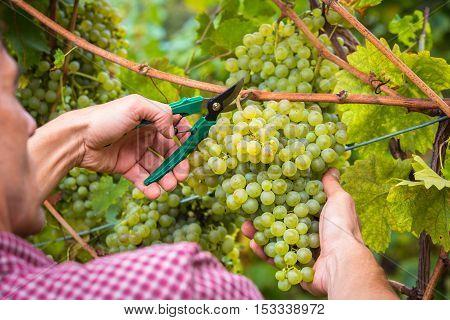 Unrecognizable Farm Worker Cutting White Grapes