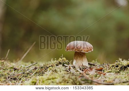 porcini mushroom in the autumn in the forest