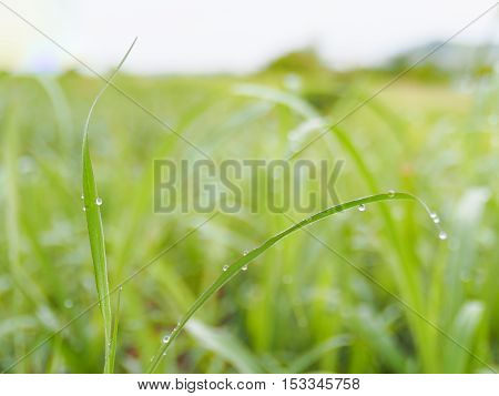 Slim grass leaf with dew drop and green blur background on morning be fresh and dewy.