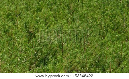 Many Twigs Of Black Pine Coppice As Nature Background.