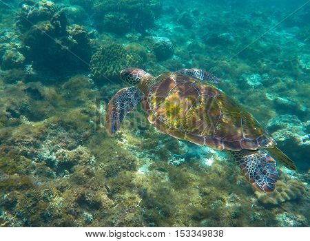 Sea turtle in blue water. Green sea turtle close photo. Lovely sea turtle closeup. Green turtle swimming in the sea. Snorkeling with turtle. Philippines diving spot Apo island. Tropical sea life