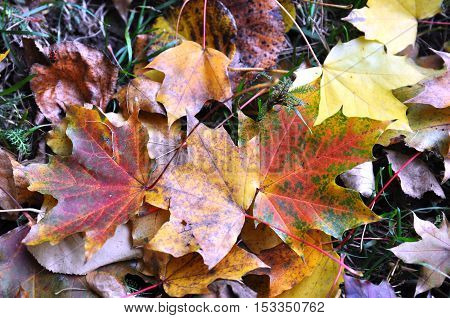 Autumn colorful leaves carpet on the ground