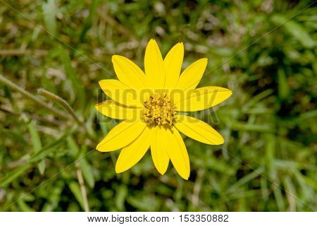 Yellow Daisy Flower Top View In Green Environment