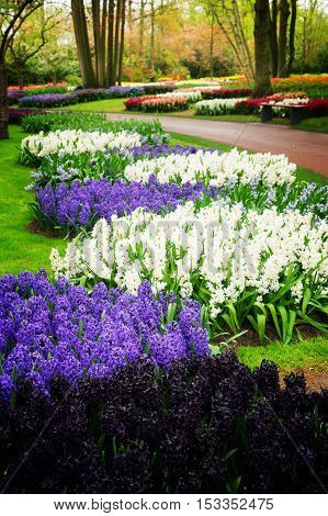blue, violet and white hyacinth flowerbed in dutch park Keukenhof, Netherlands, retro toned