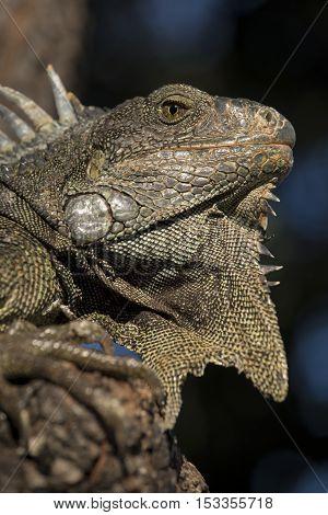 Wild Lizard Animal Close Up In Natural Habitat