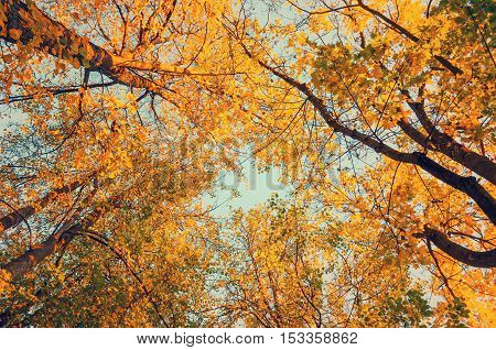 Autumn tree tops- golden autumn trees tops against the sky. Autumn natural view of autumn tree tops. Autumn trees branches against autumn sky in sunny autumn weather. Autumn view of autumn tree tops