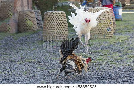 Cockfight In Rural Bali