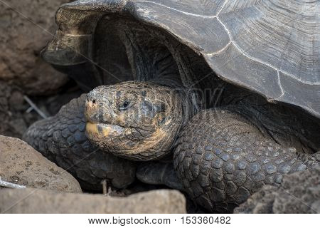 Close Up Of Wild Giant Tortoise In Natural Habitat