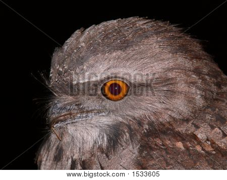 Tawny Frogmouth 4 Full Res For Stock Real