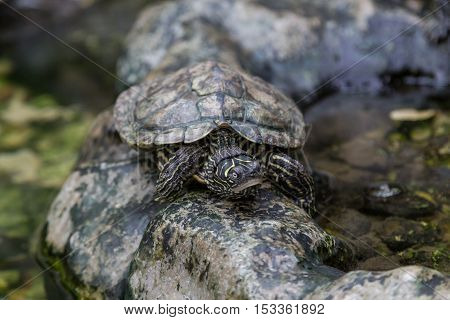 Turtle On Stone In Terrerium