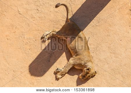 Lioness Sleeping With Shadow On Aviary In Zoo