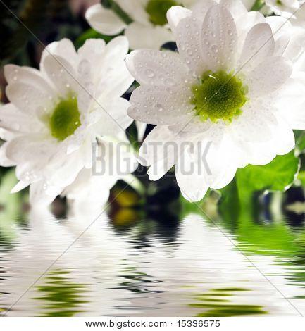 Nahaufnahme des White Daisy Gerbera mit weicher Fokus spiegelt sich im Wasser