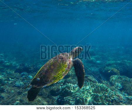 Sea turtle swimming. Green sea turtle close photo in clean blue water. Sea turtle closeup. Tropical sea ecosystem. Snorkeling with turtle. Philippines underwater nature fauna. Exotic animal image