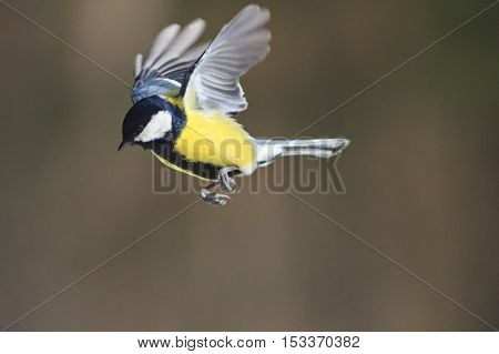 Great tit in flight, bird in flight, yellow feathers