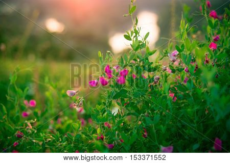 Beautiful Landscape Sunrise Over A Meadow With Pink Wildflowers. The Idea Of The Background Of Mothe