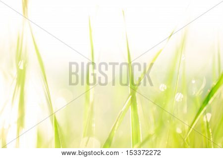 Morning Landscape Sunrise In The Meadow, On The Grass And Flowers Of The Drops Of Dew. The Idea Of T