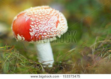 Poisonous, beautiful an dangerous amanita in the forest.
