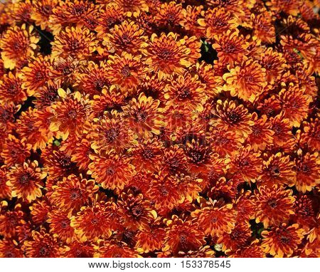 Orange aster callistephus flowers on a sunny day.