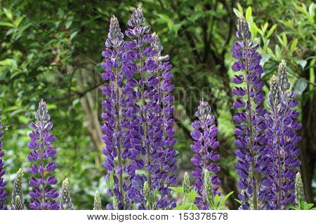 Lupines / beautiful wild and garden flowers
