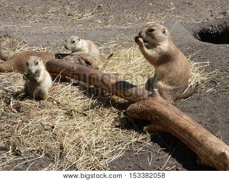 A couple of adult Prairie Dogs and a couple Prairie Dog pups laying the straw and munching on some food.