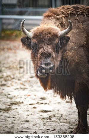 Big bison stands and chews hay in corral