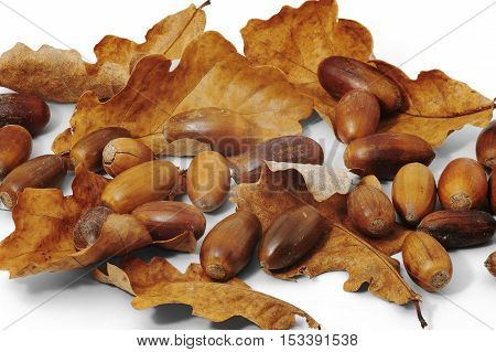 Acorns and dry oak leaves on whjte background