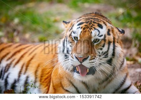 Young tiger (Panthera tigris altaica) is lying on the grass