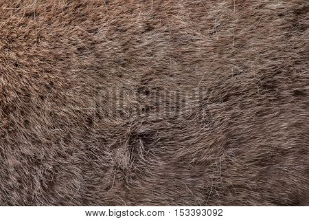 Domestic reindeer (Rangifer tarandus f. domestica), also known as the domestic caribou. Skin texture.