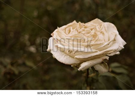 White rose flower dying on steam a lot of space for text selective focus. Wilted rose in autumn garden. Autumn season sad mood. Dying nature.