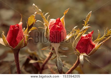 Three Rose buds in the garden in front of natural background in autumn.