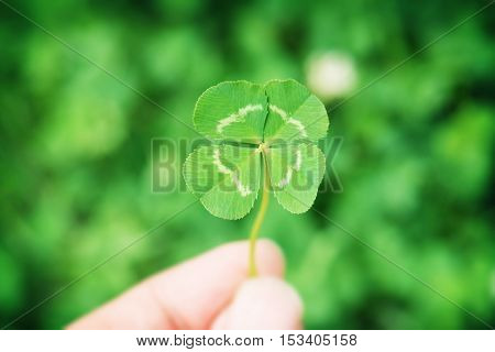 Four-leaf white clover (Trifolium repens).A hand holding a four leaf clover, with green meadow in background.