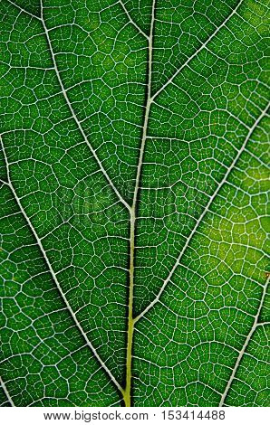 Leaf abstract background texture with veins for graphic use
