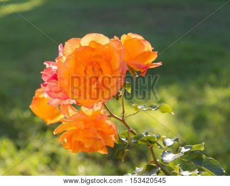 rose close up on a background of green grass