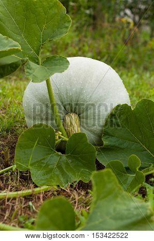 Fresh Organic Pumpkin. Ripe Pumpkin With Leaves Grown On Vegetable Garden In Summertime.